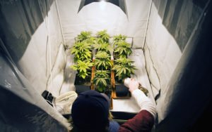 GROWING CANNABIS AT HOME USING GROW TENT