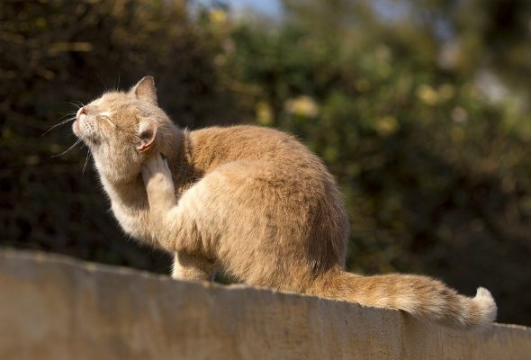 HOW TO GET RID OF FLEAS FROM CATS: