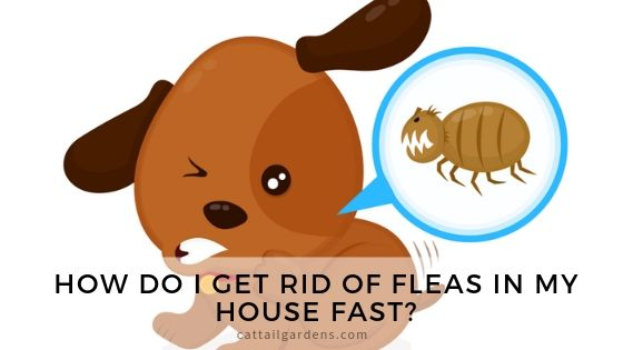 How do I get rid of fleas in my house fast