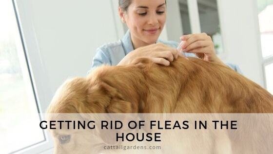 Getting rid of fleas in the house