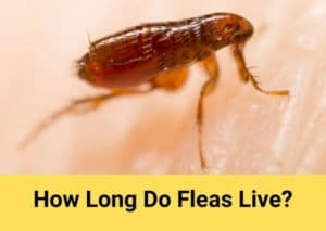 How Long Do Fleas Live? Everything You Need to Know About