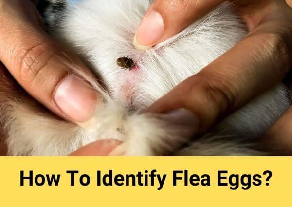 How to identify flea eggs?