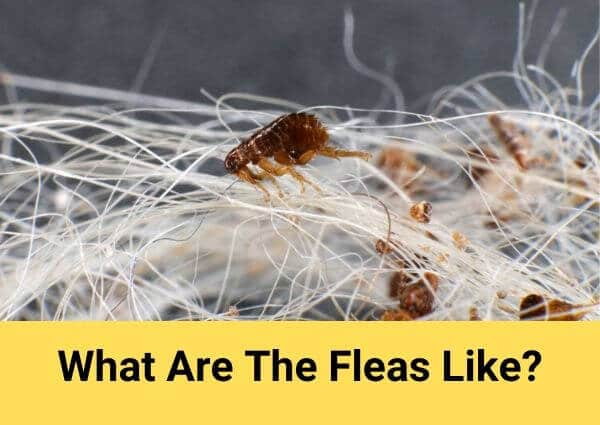 What are the fleas like?