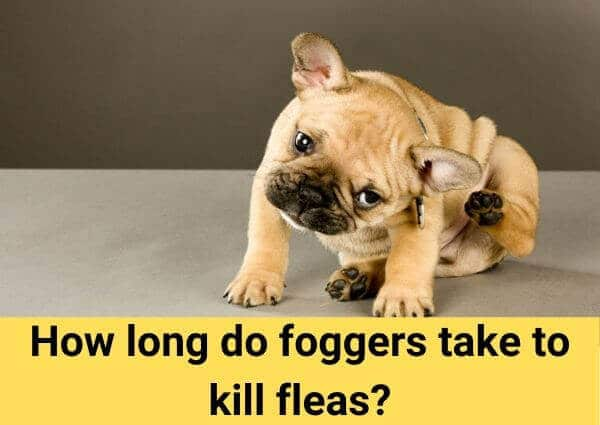 How long do foggers take to kill fleas?