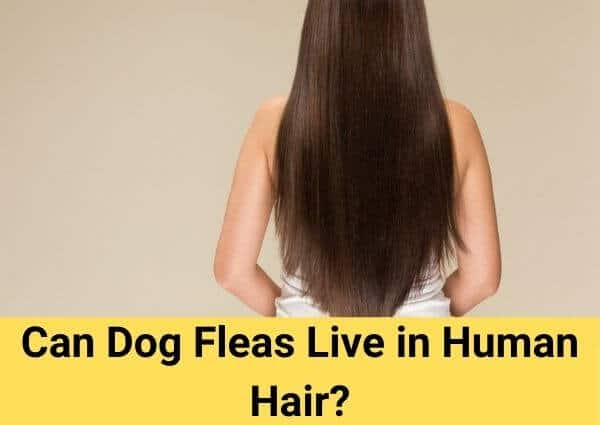 Can Dog Fleas Live in Human Hair?