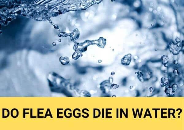 do flea eggs die in water