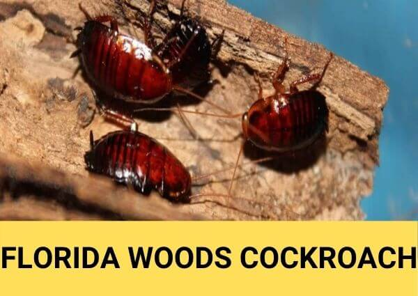 florida woods cockroach