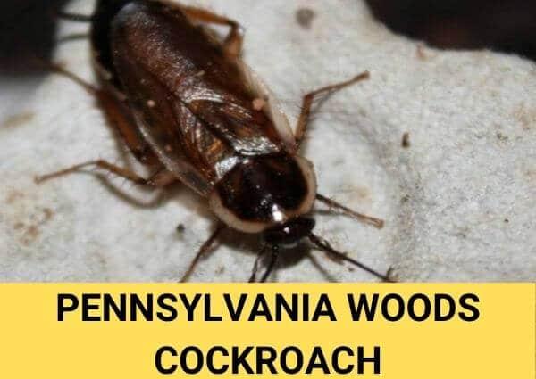 pennsylvania woods cockroach